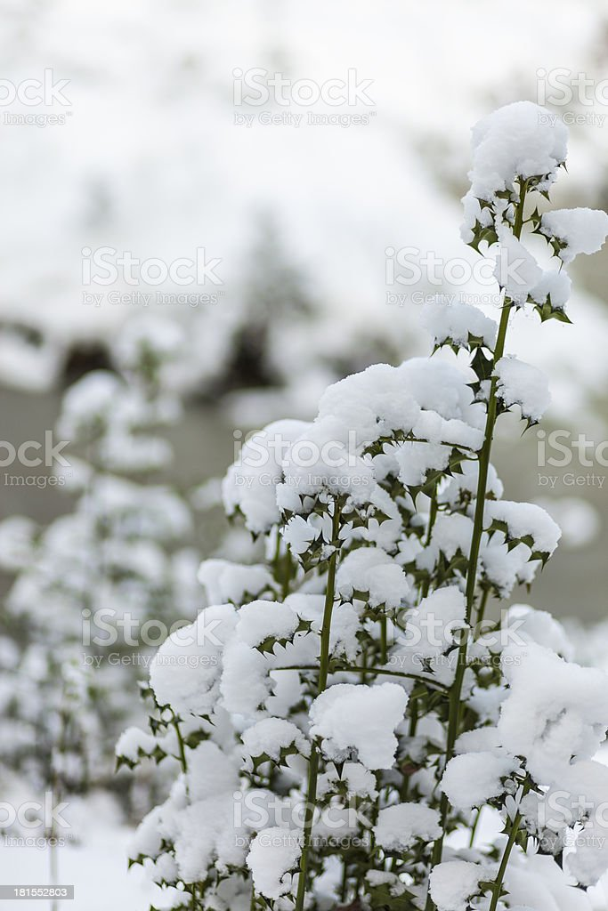Heaped snow clumps on holly plant royalty-free stock photo