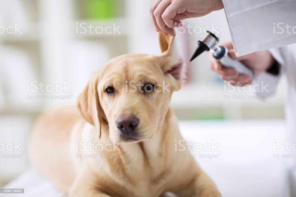 Hearing checkup of labrador dog in vet stock photo