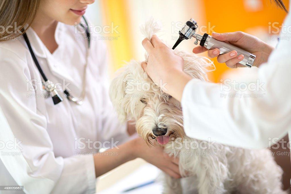 Hearing checkup of Maltese dog in vet infirmary stock photo