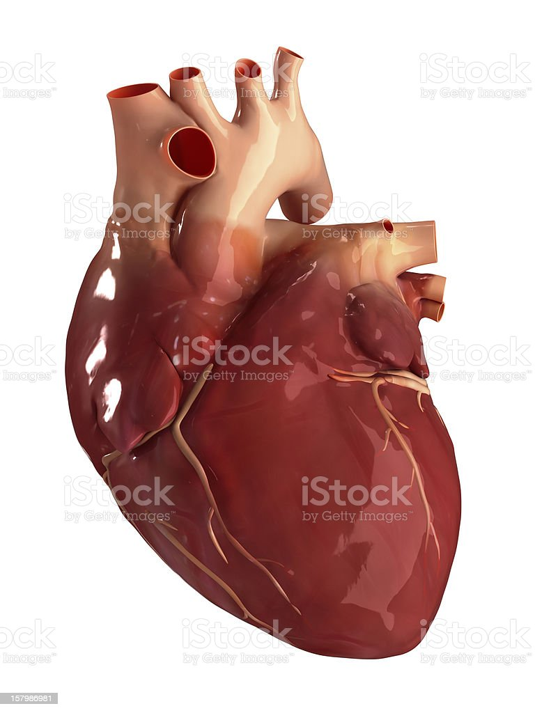 Heart anterior view isolated stock photo