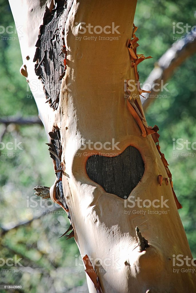 Heart Carved on Tree Trunk stock photo