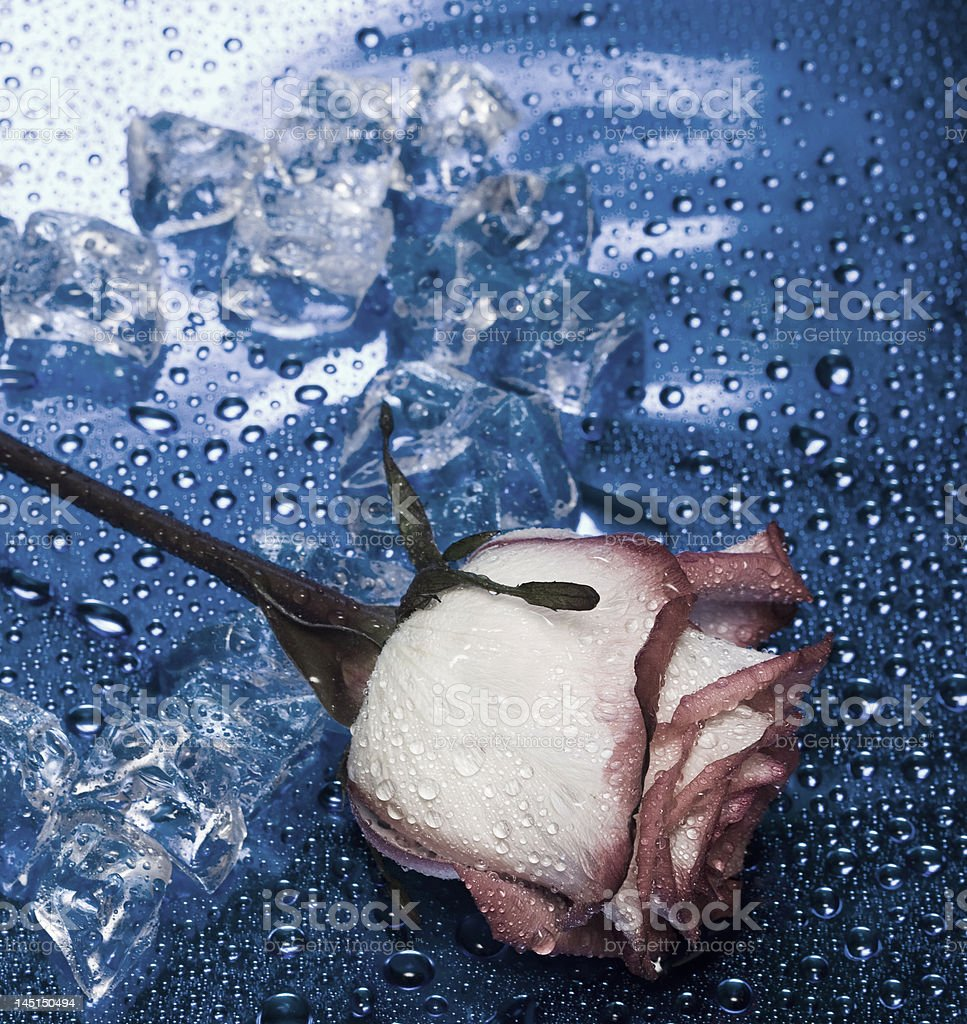 heart from ice with rose on blue background royalty-free stock photo