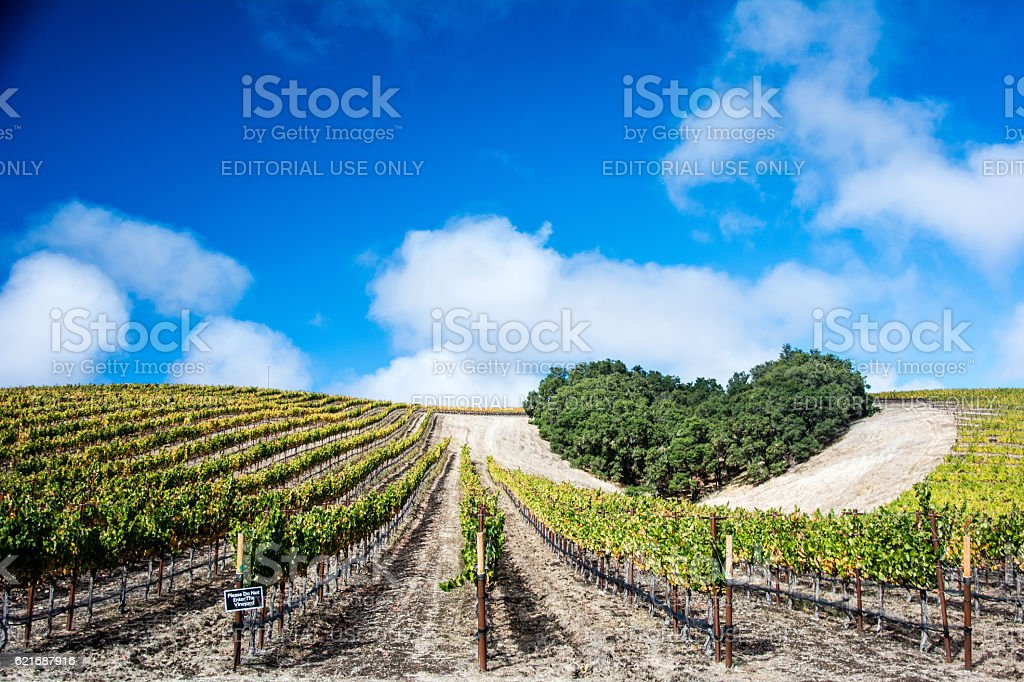 Heart Hill Vineyard with a cloudy blue sky stock photo