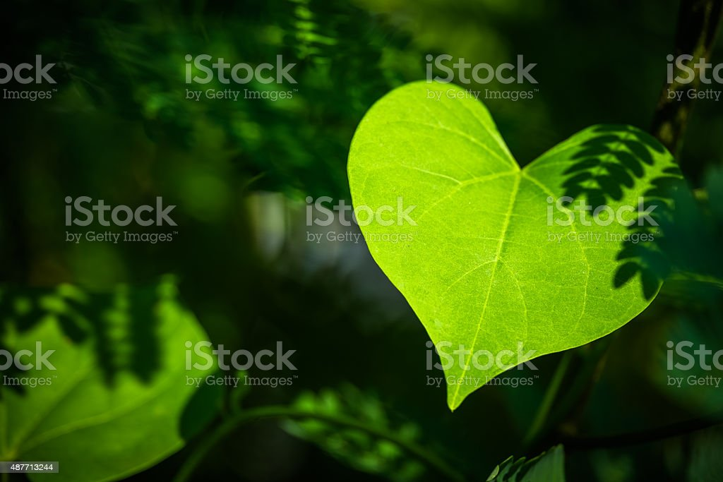 Heart leaf stock photo