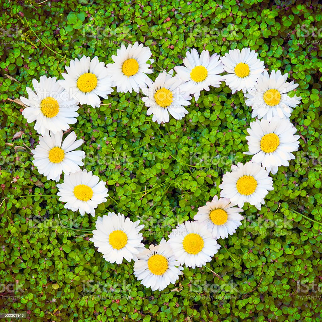 Heart of daisies on baby's tears background stock photo