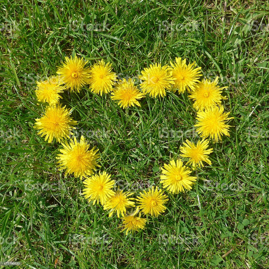 heart of dandelions stock photo