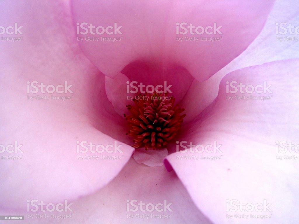 Heart of magnolia royalty-free stock photo