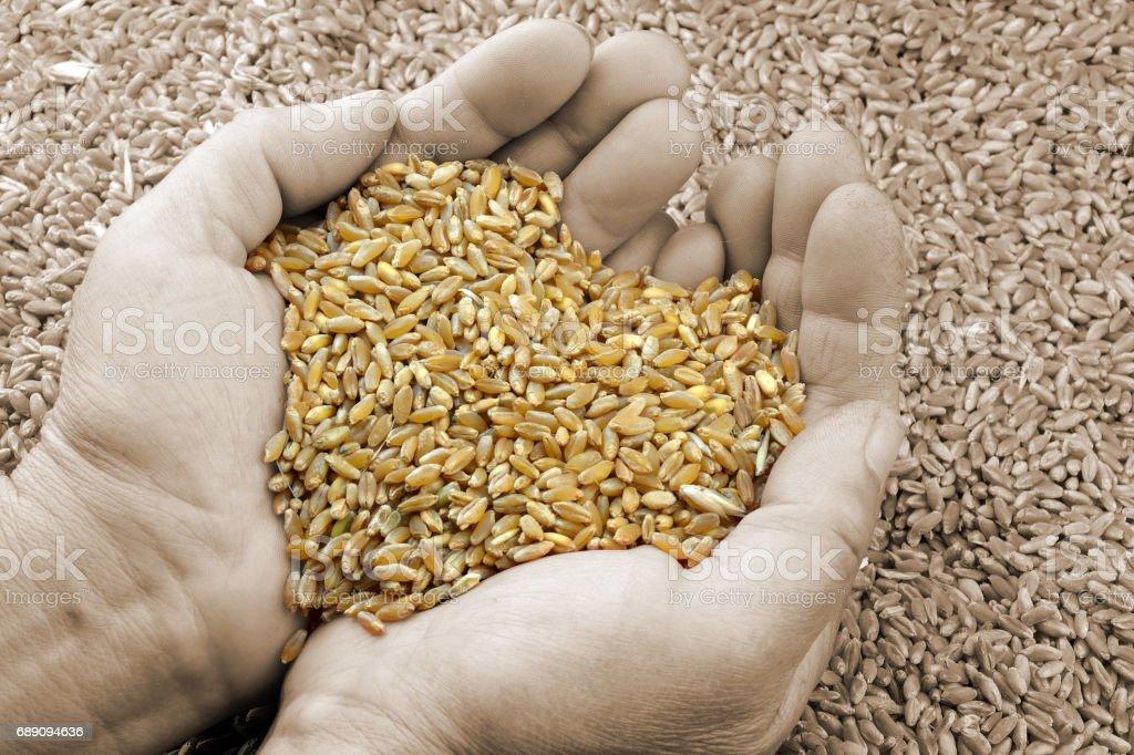 Heart of wheat stock photo