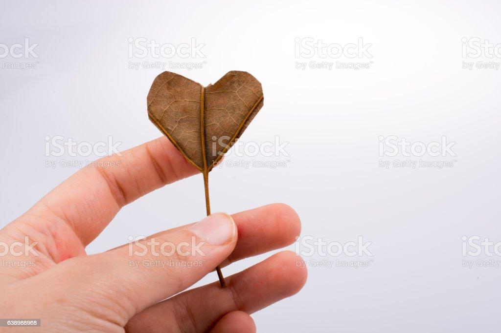 Heart shape cut leaf  in hand stock photo
