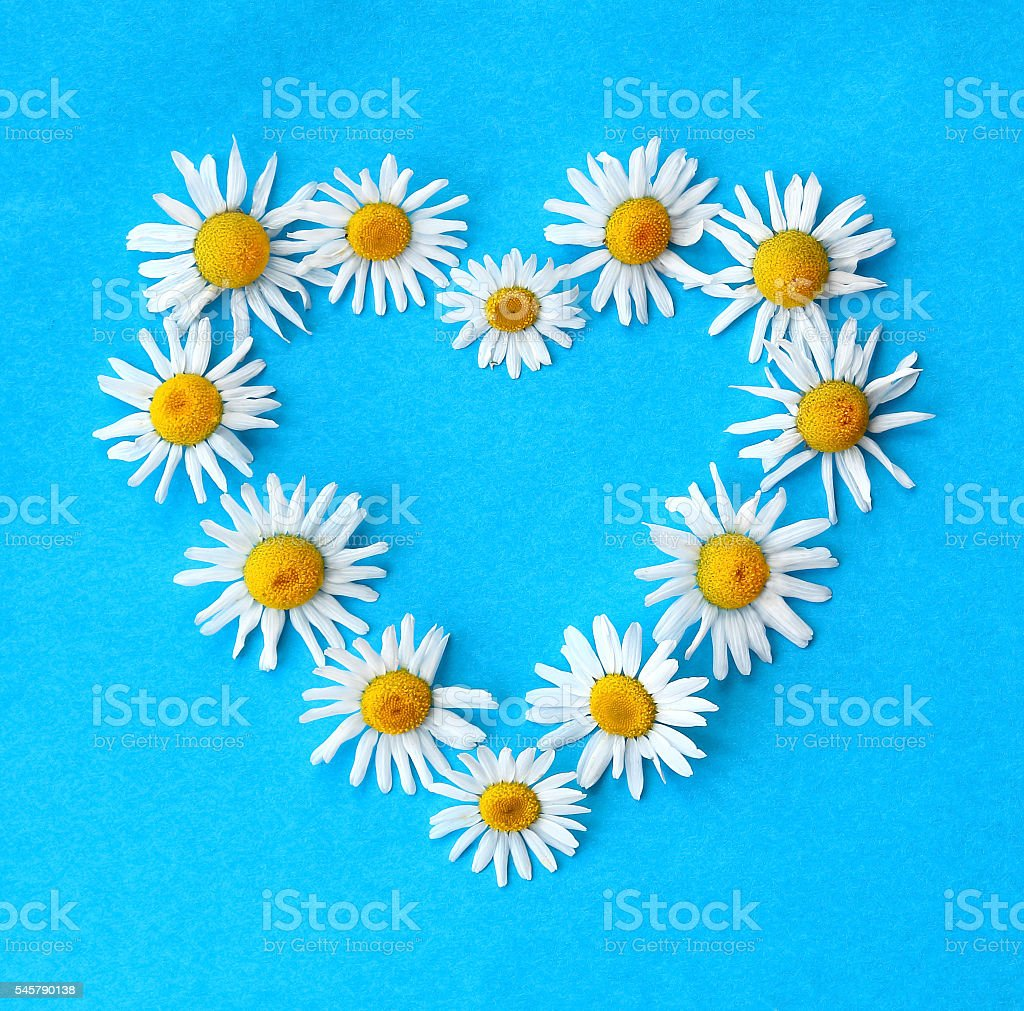 heart shape from a chamomile flower, on the blue background. stock photo