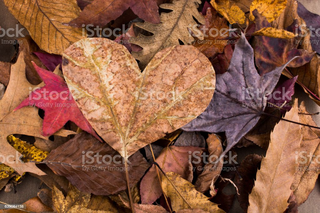 Heart shape leaf  on a background full of leaves stock photo