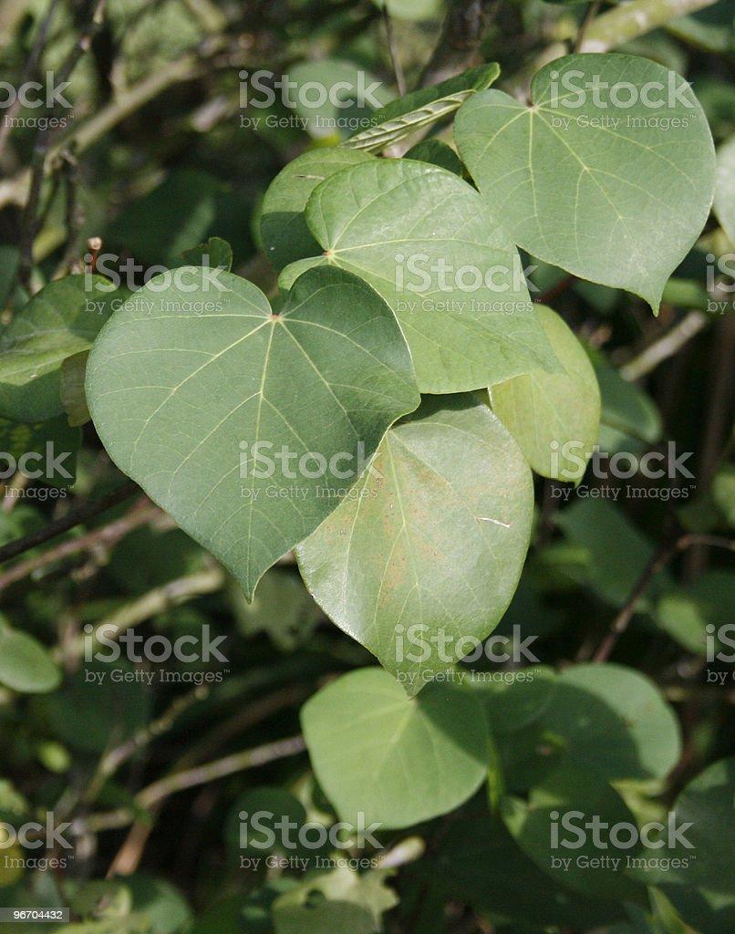 Heart Shape Leaves royalty-free stock photo