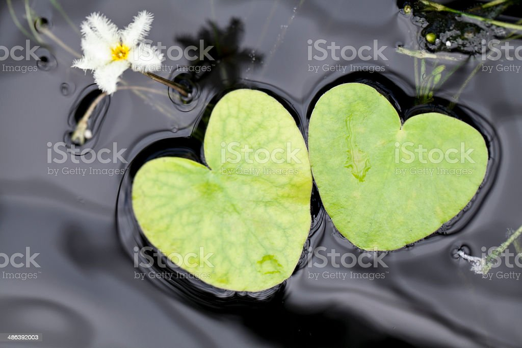 Heart shape Lotus leaves stock photo