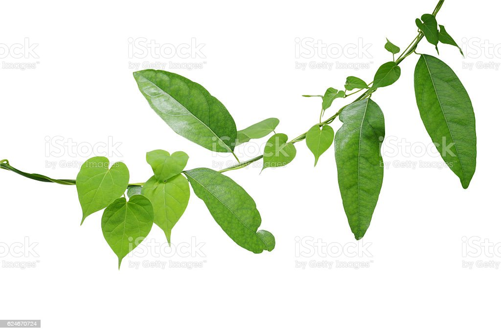 Heart shaped green leaf vine twisted around green leaf vine stock photo