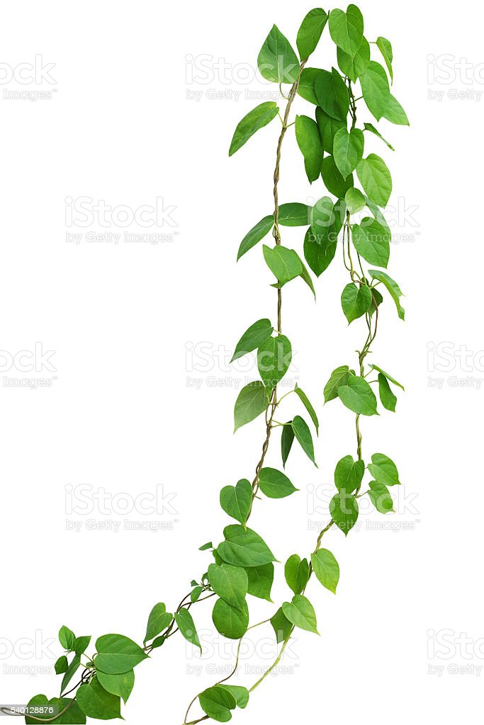 Heart shaped green leaf vines isolated on white background, clip stock photo