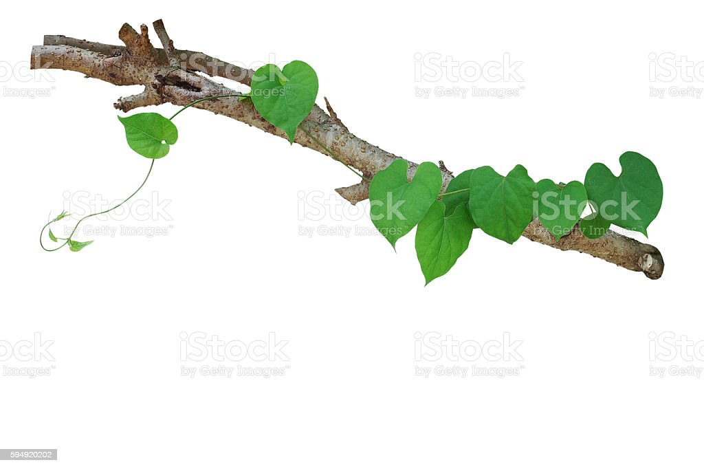 Heart shaped green leaves vine climbing on tree branch isolated stock photo