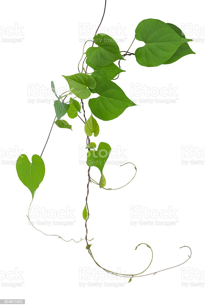 Heart shaped green leaves wild vine with branches tendrils isolated stock photo