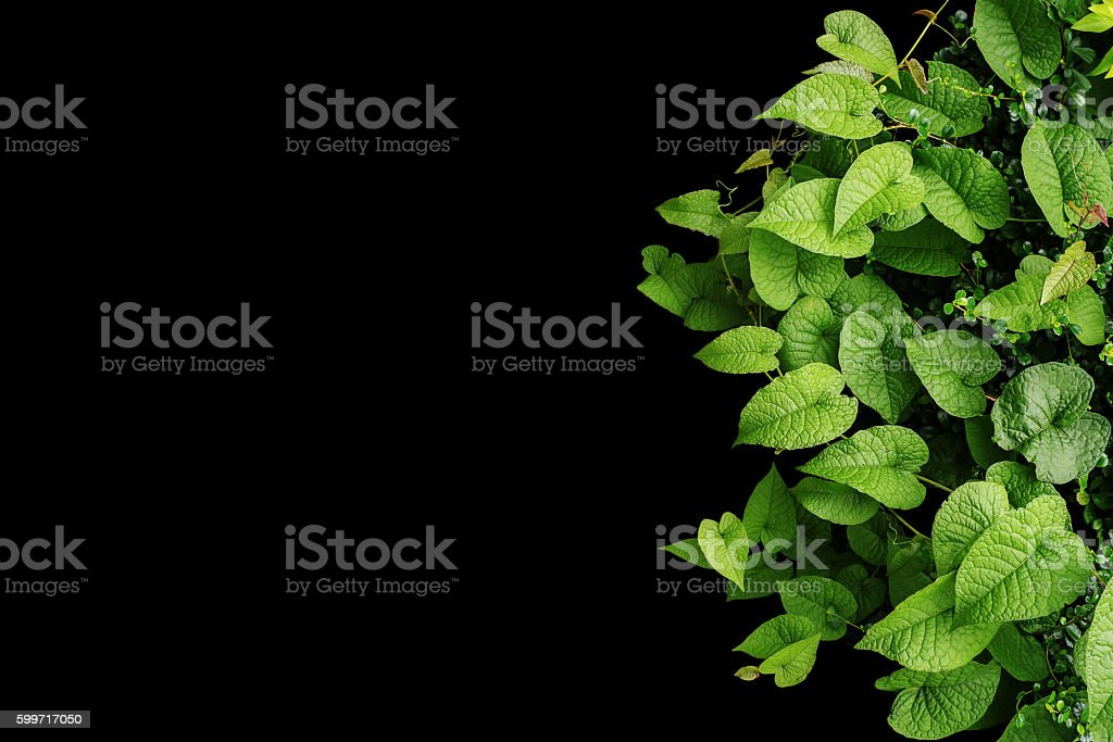 Heart shaped green leaves wild vines, tropical forest plants on stock photo
