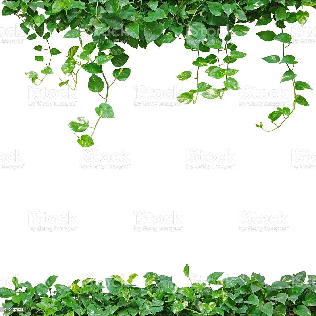 Heart shaped leaves vine, devil's ivy, golden pothos, isolated o stock photo