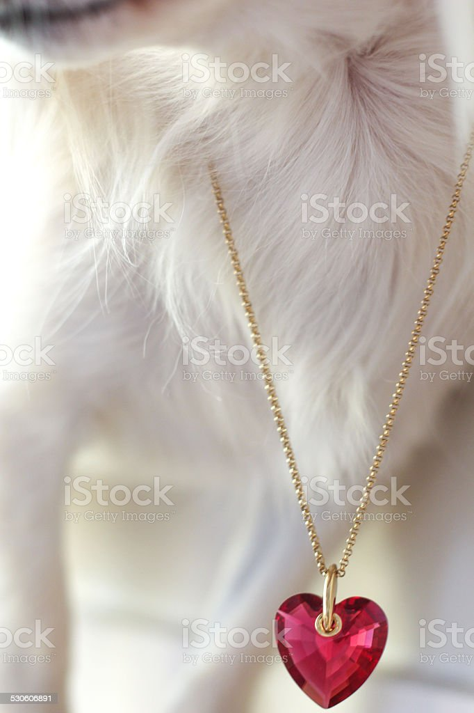 heart shaped necklace round a little dog's neck stock photo