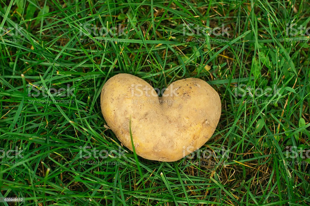 Heart shaped potato on green grass at summer day. stock photo