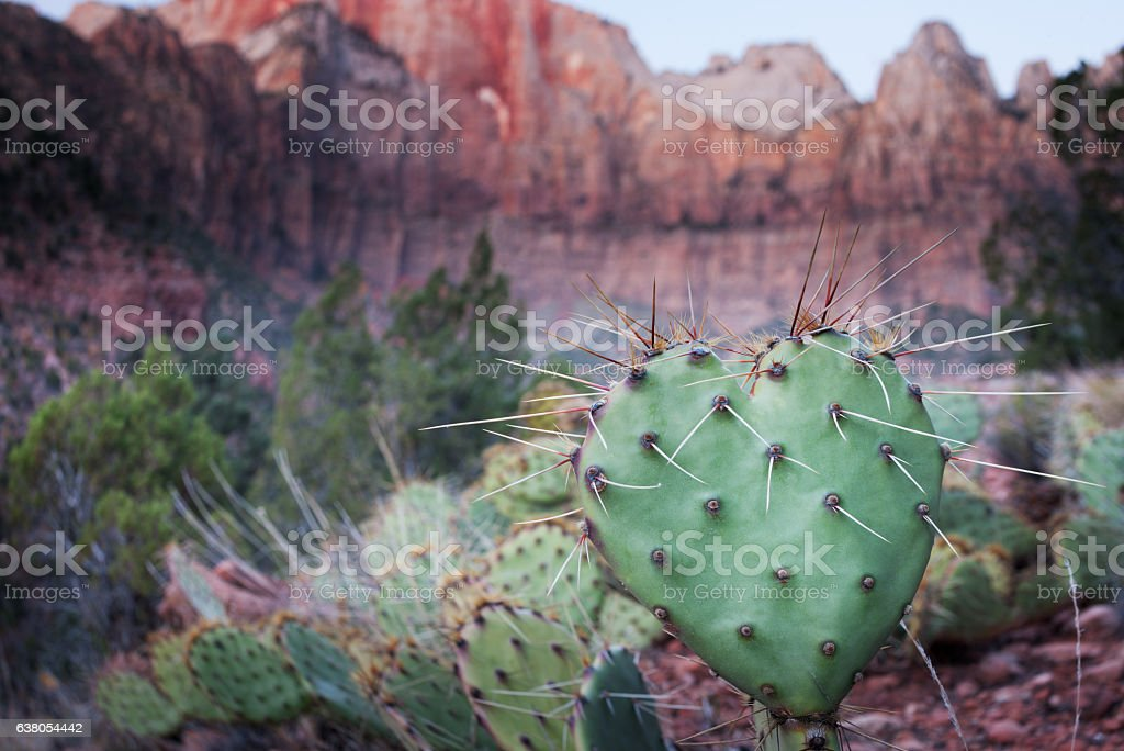 Heart shaped prickly pear cactus in Zion N.P. stock photo