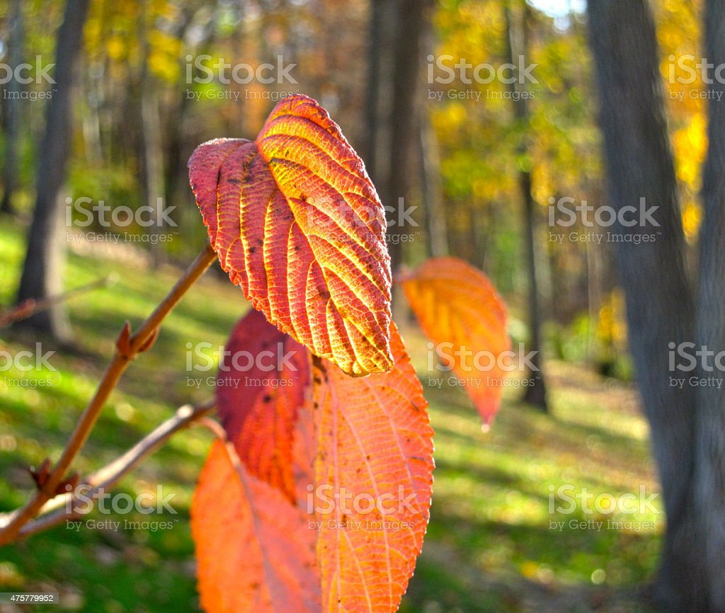 Heart Shaped Red Leaf stock photo
