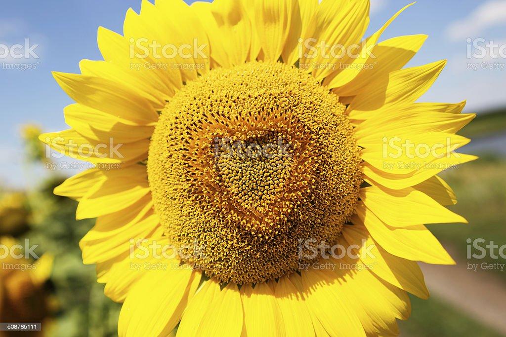 Heart shaped sunflower, close up photo stock photo