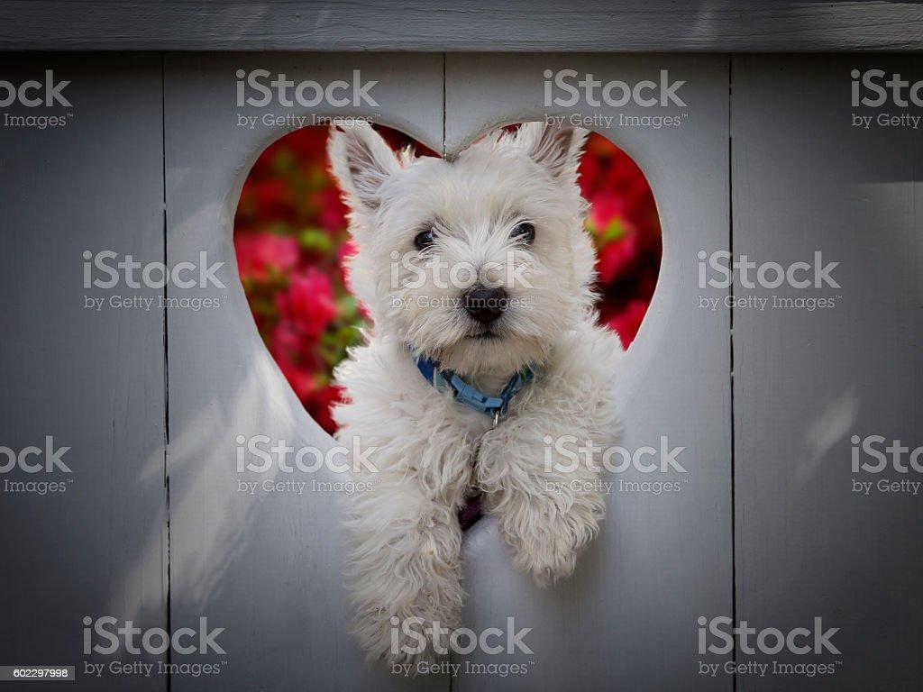 Heart winning Westie stock photo