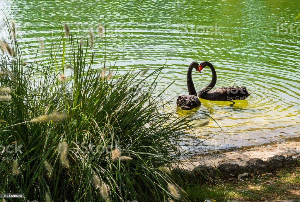 hearth shape black swans stock photo