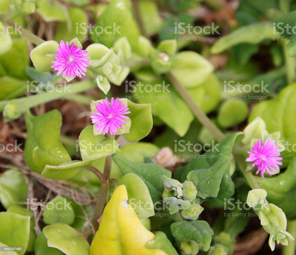 Heartleaf Iceplant (Aptenia cordifolia) stock photo