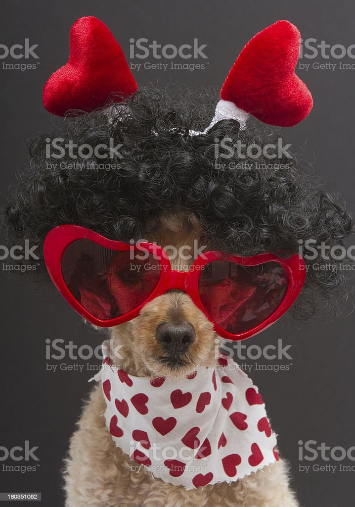 Hearts on A Poodle royalty-free stock photo