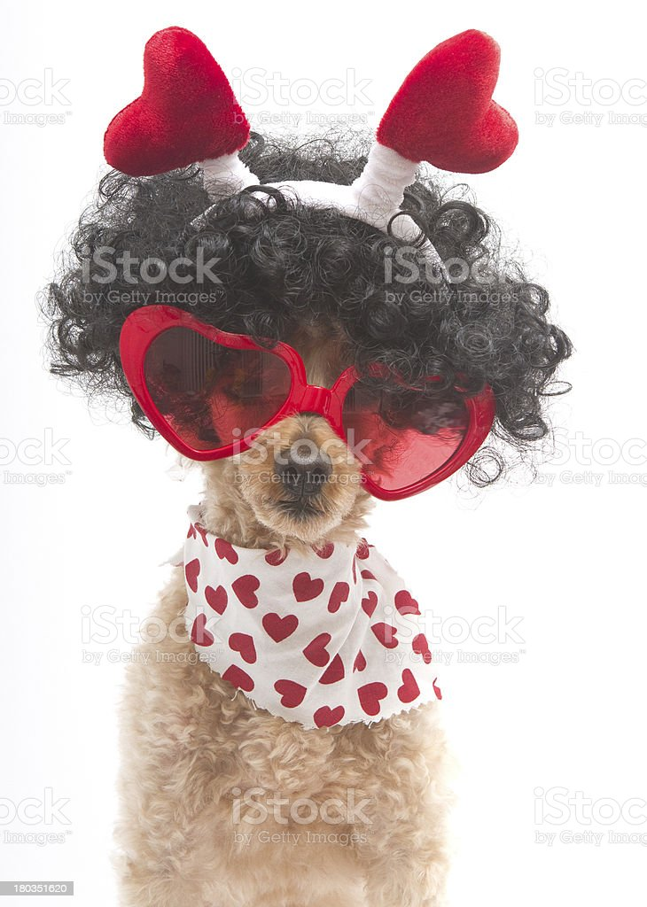 Hearts On A Poodle with Big Hair royalty-free stock photo