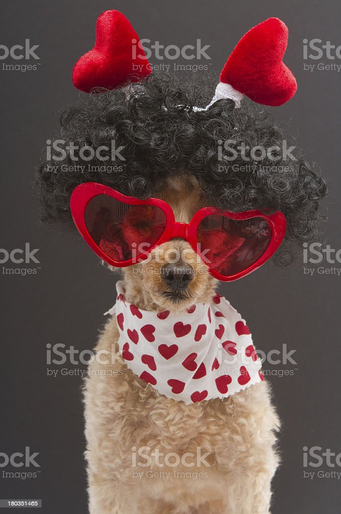 Hearts Worn By A Poodle royalty-free stock photo