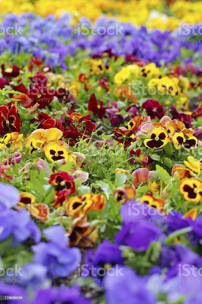 Heartsease 、花のガーデン ロイヤリティフリーストックフォト
