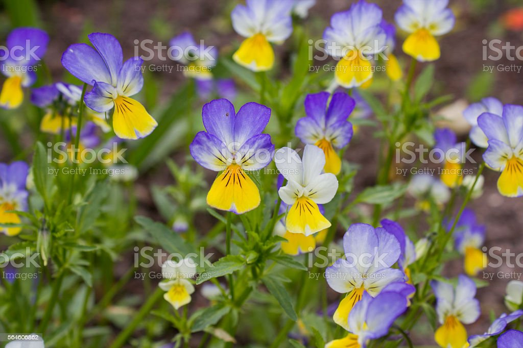 Heartsease (Viola tricolor), flowered in a garden stock photo