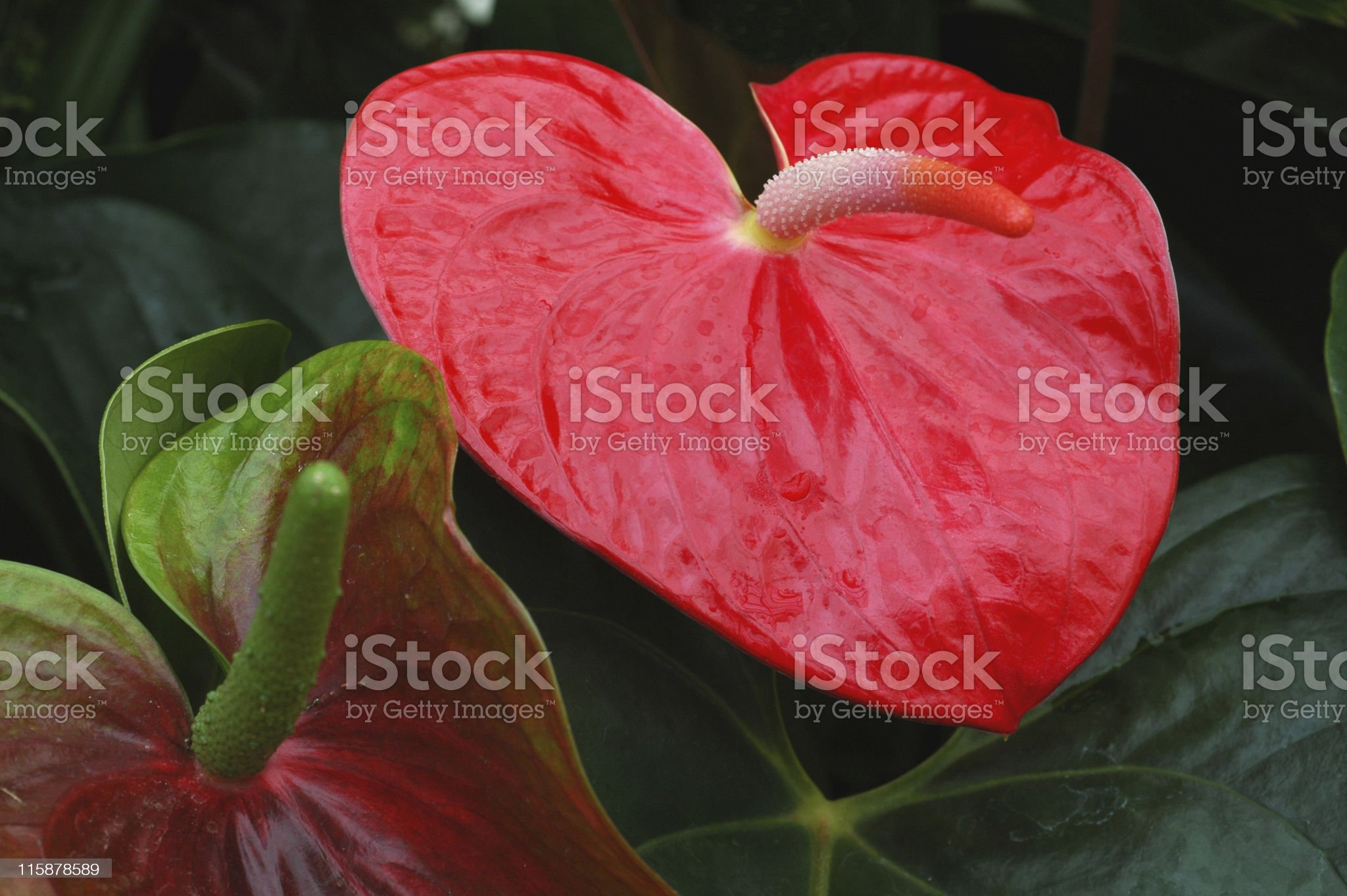 Heart-shaped bright red anthurium royalty-free stock photo