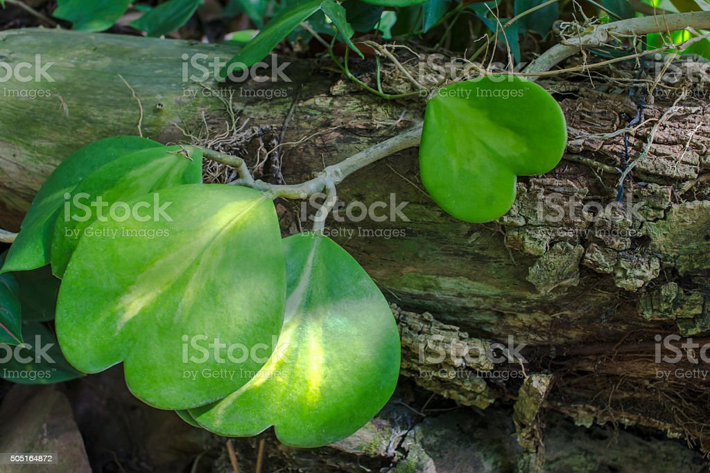 Heart-shaped leaves royalty-free stock photo
