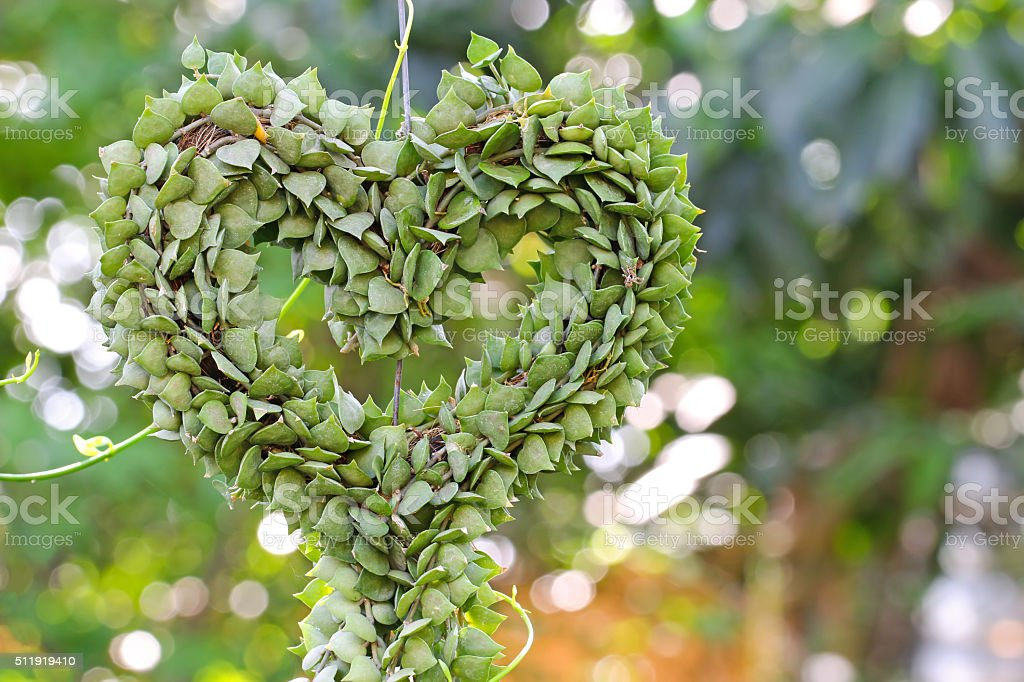 Heart-shaped succulent plant named Million Hearts in heart shape stock photo