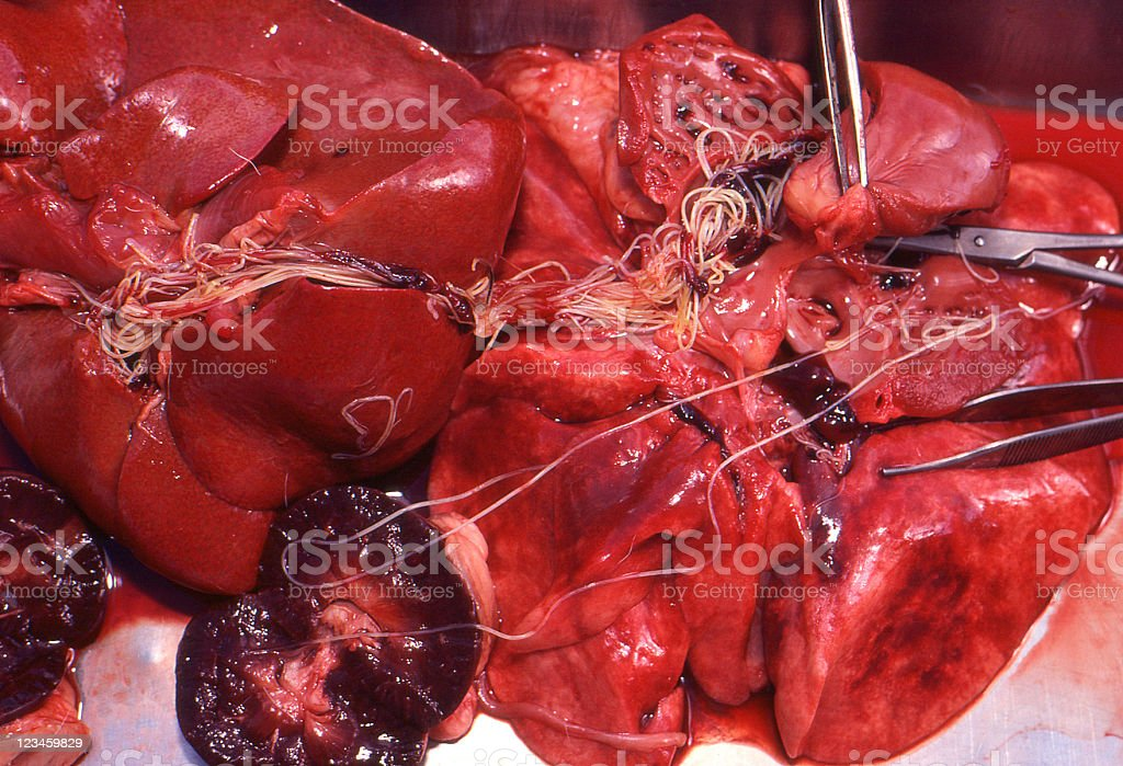 heartworm, Dirofilaria immitis, in organs at necropsy stock photo