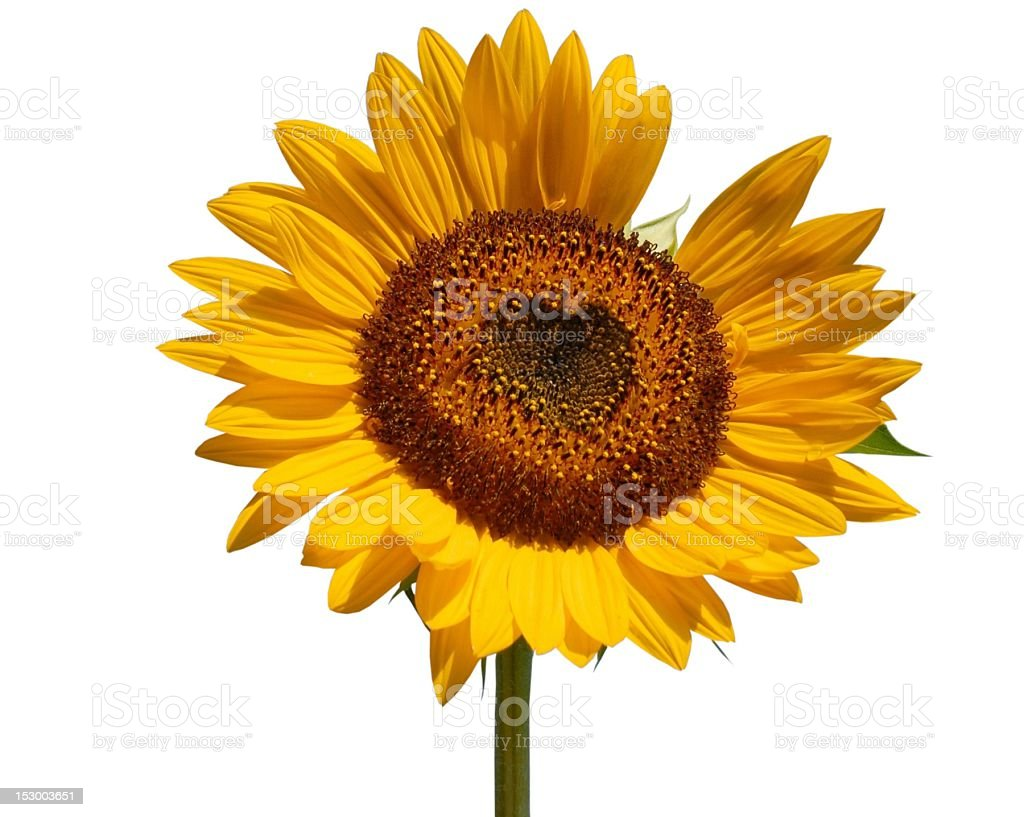 hearty Sunflower stock photo