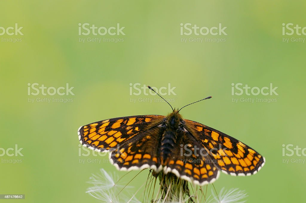 Heath Fritillary Butterfly (Melitaea athalia) stock photo