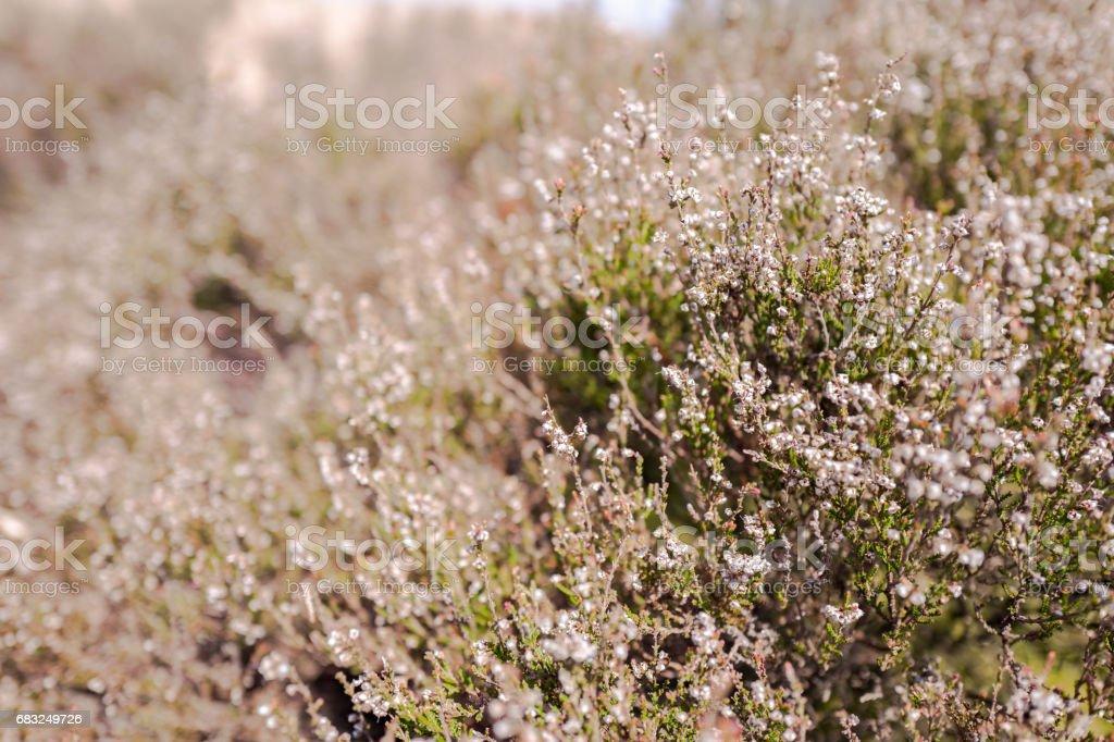 Heath plants. stock photo