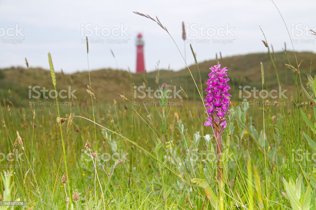 Heath spotted-orchid and lighthouse stock photo
