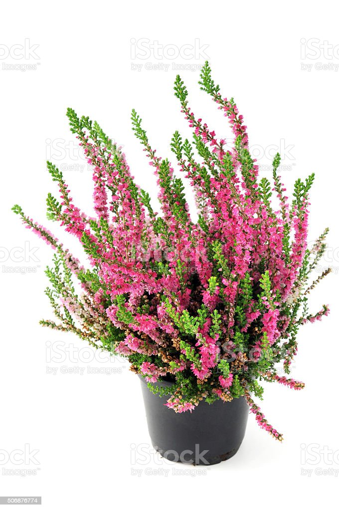 heather erica flower in pink. stock photo