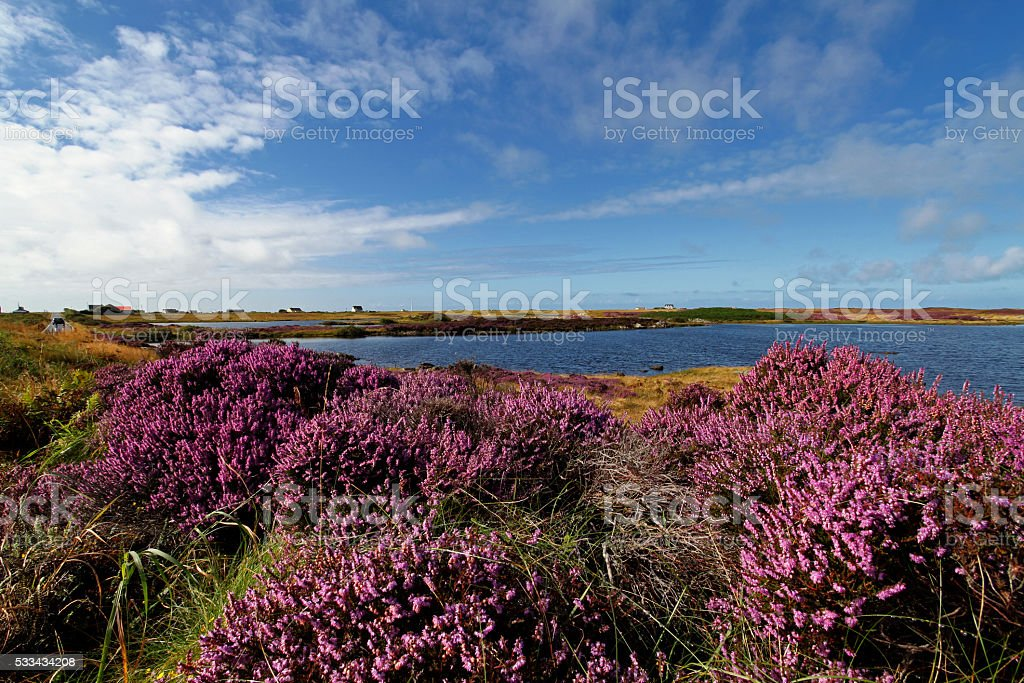 Heather field in Benbecula, Outer Hebrides stock photo