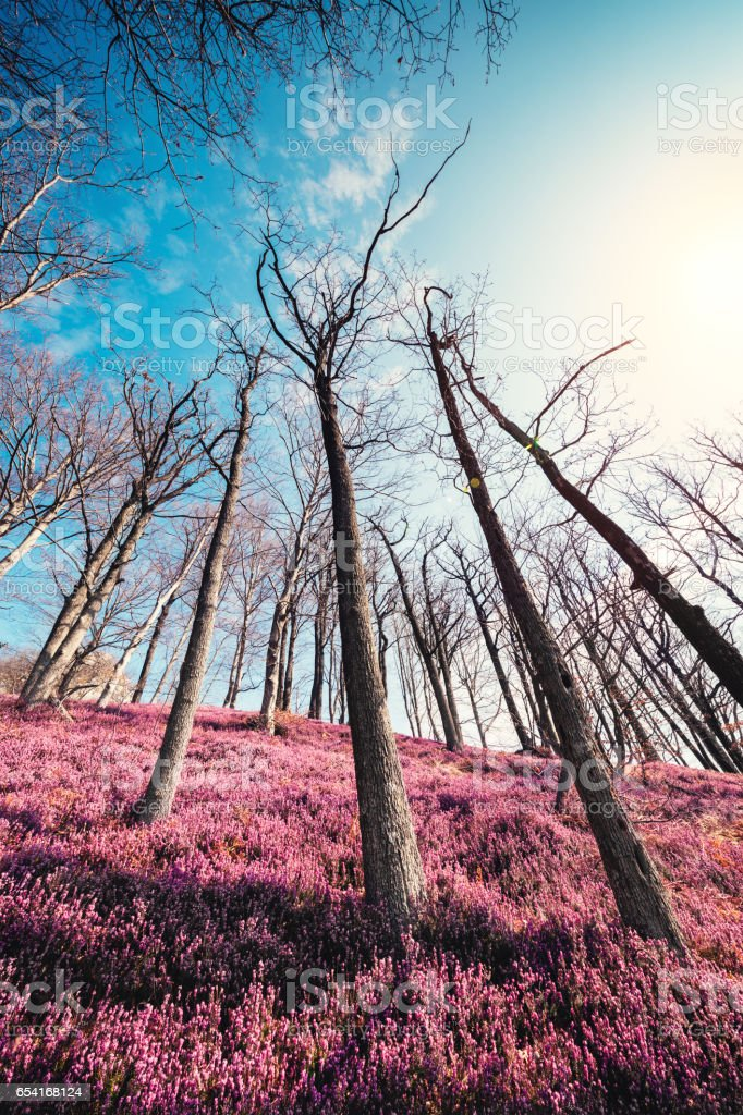 Heather Field In Spring Forest stock photo