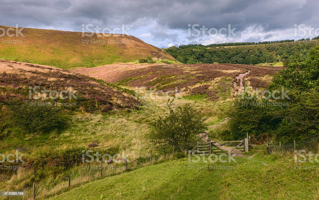 Heather in bloom on the  moors, Yorkshire, UK. stock photo