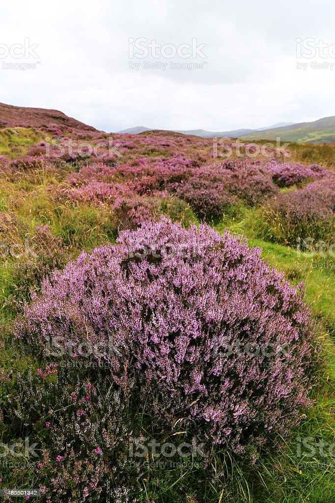 heather in bloom stock photo