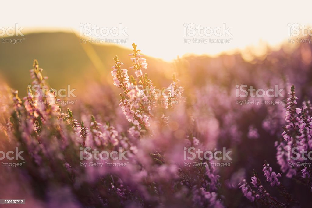 Heather in meadow during sunrise stock photo